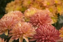 Pretty Mums. Coral colored mums closeup with more mums in the background royalty free stock images