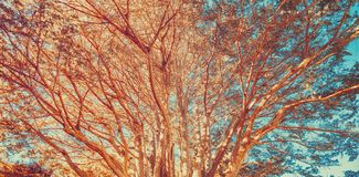 Coral colored tree against a blue background royalty free stock images