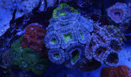Coral colorido de Acanthastrea Fotografia de Stock Royalty Free