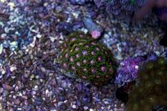 Coral colorido do zoanthus do pólipo Imagem de Stock