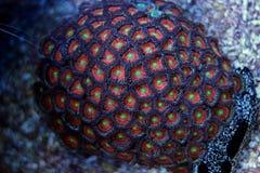 Coral colorido do zoanthus do pólipo Fotos de Stock Royalty Free