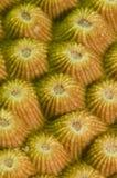 Coral compacto amarelo fotografia de stock royalty free