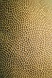 Coral compacto, heliopora do diploastrea foto de stock royalty free