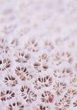 Coral cor-de-rosa com grões de areia Fotografia de Stock Royalty Free