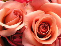 Coral couple. Photograph of two very beautiful coral colored roses Royalty Free Stock Image