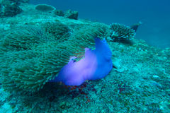 Coral da anêmona Fotografia de Stock