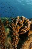 Coral da câmara de ar de Brown fotografia de stock