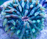 Coral da placa Foto de Stock