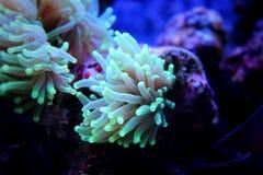 Coral da tocha Imagem de Stock