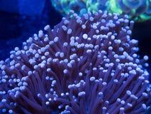 Coral da tocha foto de stock