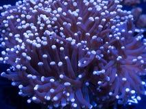 Coral da tocha imagem de stock royalty free