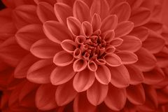 Free Coral Dahlia Petals Macro, Floral Abstract Background. Close Up Of Flower Dahlia For Background, Soft Focus Royalty Free Stock Photo - 165846105