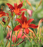 Coral Day Lilies Arkivfoto