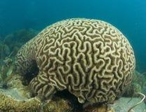 Coral de cérebro foto de stock royalty free