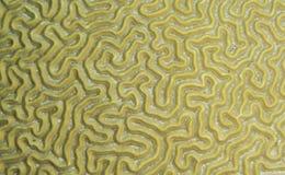 Coral de cérebro Fotografia de Stock