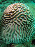 Coral de cérebro Imagem de Stock