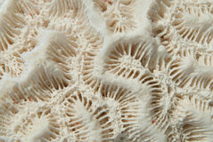 Coral de cérebro branco Fotos de Stock Royalty Free