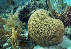 Coral de cérebro - recife de Belize Fotos de Stock Royalty Free