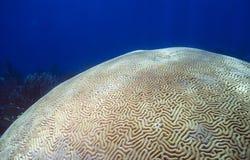 Coral de cérebro Scleractinia Imagem de Stock Royalty Free