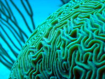Coral de cérebro subaquático Imagens de Stock Royalty Free