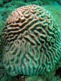 Coral de cerebro imagen de archivo