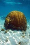 Coral de cerebro debajo del mar con las ondulaciones de la luz del sol Imagen de archivo libre de regalías
