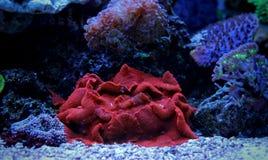 Coral de cogumelo vermelho no tanque marinho Fotografia de Stock Royalty Free