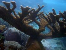 Coral de Elkhorn fotografia de stock royalty free