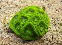 Coral de Favia Fotografía de archivo