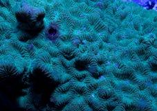 Coral de Favites Fotos de Stock Royalty Free