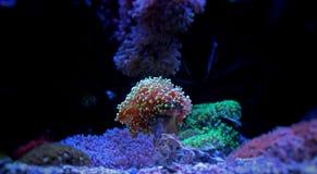 Coral de Frogspawn no tanque marinho Foto de Stock Royalty Free