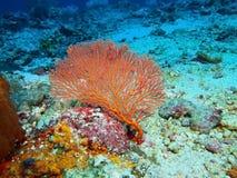 Coral de Gorgonian Imagenes de archivo