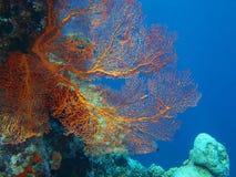 Coral de Gorgonian Foto de Stock