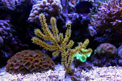 Coral de Gorgonian amarelo do pólipo fotos de stock