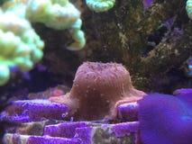Coral de Kriptonyte de la seta y de la trompeta del oro en un tanque del filón Imágenes de archivo libres de regalías