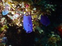 Coral de la burbuja Fotografía de archivo libre de regalías