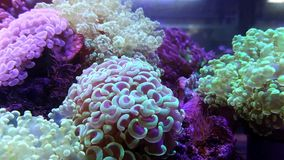 Coral de la elegancia en acuario almacen de metraje de vídeo