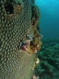Coral de la estrella foto de archivo