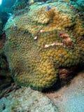 Coral de la estrella fotos de archivo libres de regalías