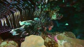 Coral de la fan, buceo con escafandra en Egipto almacen de video