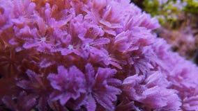 Coral de la mano que agita o del pulso, Xenia subacuática almacen de video