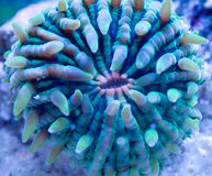 Coral de la placa Foto de archivo