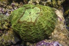 Coral de Scolymia Fotografía de archivo libre de regalías