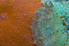 Coral de seta Foto de archivo libre de regalías