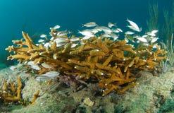 Coral de Staghorn e grunhidos juvenis Imagens de Stock