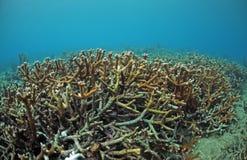 Coral de Staghorn en el filón coralino en Océano Atlántico Imágenes de archivo libres de regalías