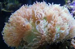 Coral from deep ocean Royalty Free Stock Photography