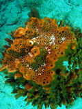 Coral del barril Fotografía de archivo
