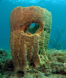 Coral del barril Imagen de archivo libre de regalías