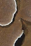 Coral del castillo (speciosa de Pachyseris). Imagenes de archivo